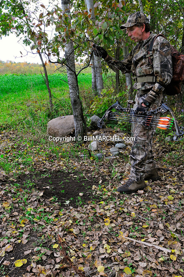 00105-049.19 Bowhunting:  Archer examines overhanging branch above scrape on edge of food plot of oats during early fall.  Hunt.