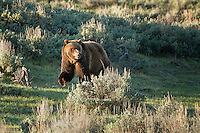 Grizzly Bear, Lamar Valley, Yellowstone National Park