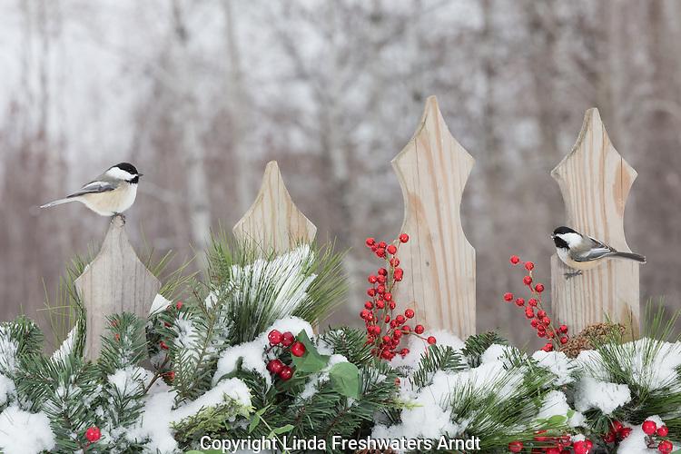 Black-capped chickadees on a festive backyard fence