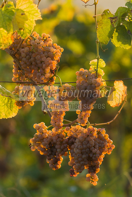 France, Aquitaine, Pyrénées-Atlantiques, Béarn, Coteau du Jurançon, Monein:    Vignoble de Jurançon , Gros manseng //  France, Pyrenees Atlantiques, Bearn,Slopes of Jurançon, Monein : Jurançon vineyard, Large Manseng