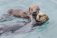 Sea Otter (Enhydra lutris) mom with young pup in sheltered bay on Prince William Sound, Alaska.