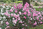 BRILLIANT PINK ICEBERG ROSE, ROSA HYBRID, FLORIBUNDA