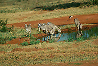 Many animals join the zebra for the scarce water at waterhole, Kenya Africa