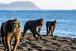 Adult male Sulawesi or Celebes crested macaques or Sulawesi or Celebes black macaques (Macaca nigra)(known locally as yaki or wolai) foraging on exposed beach at low tide. Tangkoko National Park, Sulawesi, Indonesia.