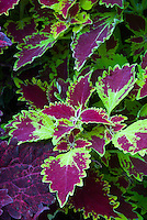 Solenostemon (Coleus) 'Glory of Luxembourg' in red and yellow foliage annual plant color leaves