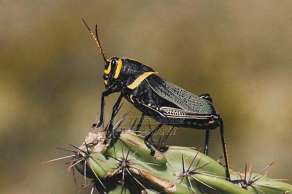 Horse Lubber Grasshopper (Taeniopoda eques), adult on cactus, Chisos Mountains, Big Bend National Park, Chihuahuan Desert, West Texas, USA
