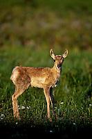 Pronghorn Antelope (Antiloapra americana) fawn.  Western U.S., June.