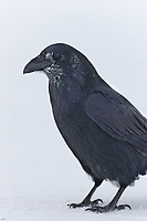 Raven with frosted feathers from cold weather stands on the ground in Arctic Alaska