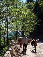 Rinder beim Goderdzi-Pass an der Straße nach Batumi, Adscharien - Atschara, Georgien, Europa<br /> cattle near Goderzi pass, , Adjara,  Georgia, Europe