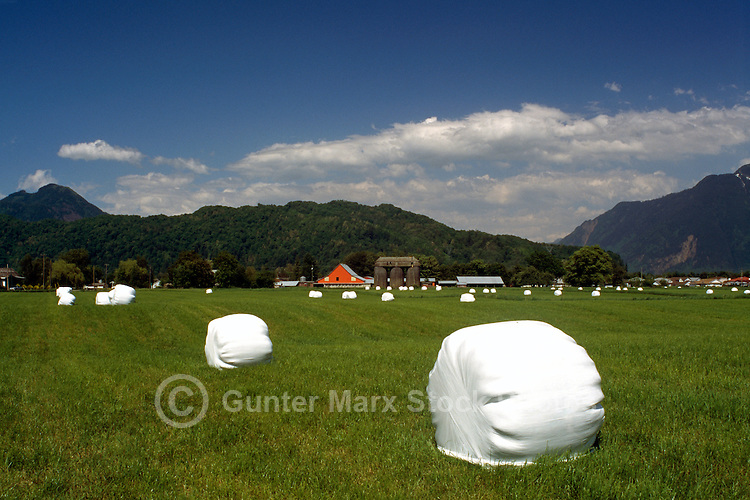 Fraser Valley near Agassiz, BC, British Columbia, Canada - Hay Bales wrapped in Plastic in a Field
