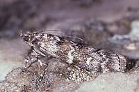 Fichtenzapfenzünsler, Fichtenzapfen-Zünsler, Dioryctria abietella, Tinea abietella, Phycis abietella, Pyralidae, Zünsler