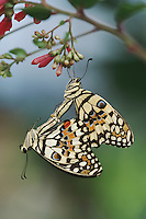 Lemon Butterfly (Papilio demoleus), pair mating, captive