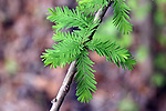 Young cypress leaves, Taxodium distichum, are a beautiful bright green.