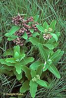 MK17-008i  Milkweed - plant in bloom- Asclepias syriaca