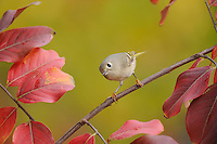 Ruby-crowned Kinglet (Regulus calendula), adult on Crape Myrtle (lagerstroemia), New Braunfels, San Antonio, Hill Country, Central Texas, USA