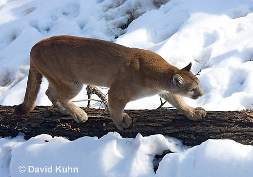 0218-1007  Mountain Lion (Cougar) in Snow, Puma concolor (syn. Felis concolor)  © David Kuhn/Dwight Kuhn Photography.