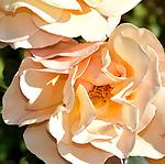 The Dark Roses