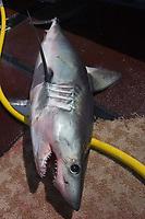 porbeagle shark, Lamna nasus, lies on deck of longline fishing boat after capture, Nova Scotia, Canada (North Atlantic Ocean) separately, but must be equivalent in number; Nova Scotia, Canada (North Atlantic Ocean)