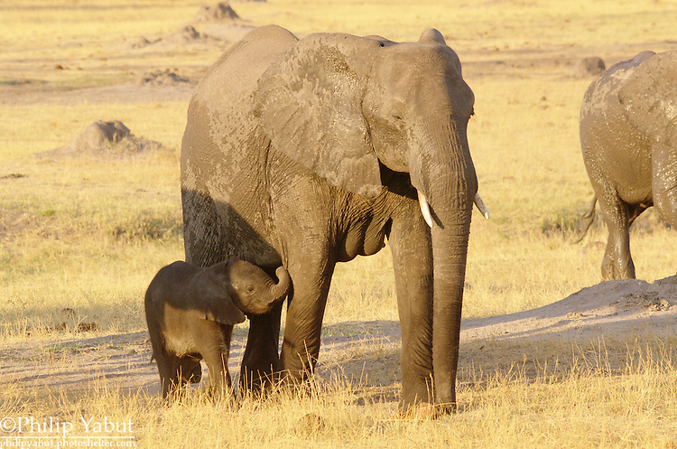 Baby African bush elephant (Loxodonta africana) and its mother, Hwange National Park, Zimbabwe.