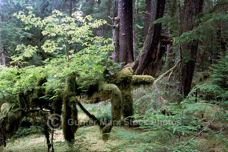 Haida Gwaii (Queen Charlotte Islands), Northern BC, British Columbia, Canada - Moss Covered Sitka Spruce (Picea sitchensis) and Western Hemlock (Tsuga heterophylla) Trees, in Temperate Rainforest on Graham Island