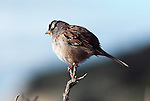 White-crowned Sparrow perched on a dead twig.