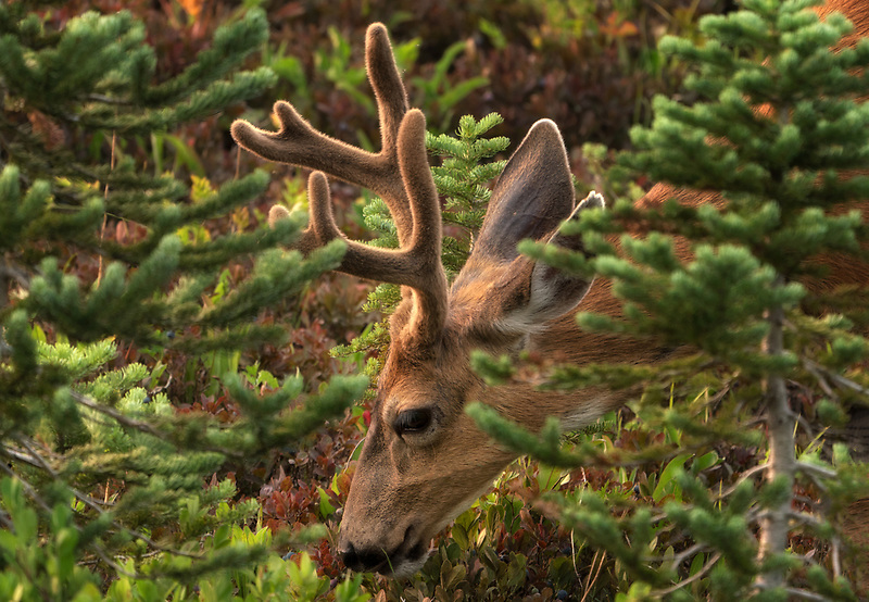 Mule deer, Mt. Rainier National Park, Washington