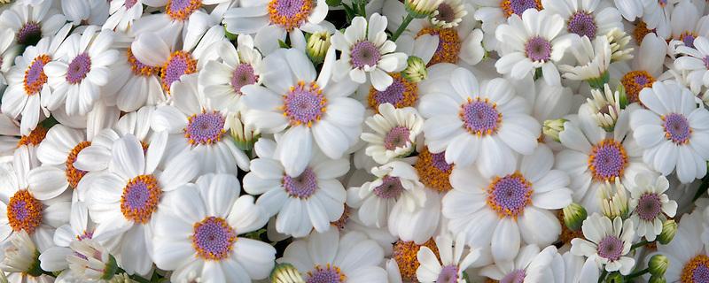 Close up of Cineraria flowers. Al's Nursery. Oregon