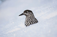 Spotted Nutcracker (Nucifraga caryocatactes), adult searching for stored food in snow by minus 15 Celsius, Davos, Switzerland, Europe