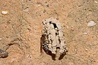 Rötliche Kegelbiene, Kegelbiene, Coelioxys rufescens, Rufescent Sharp-Tail, Kegelbienen
