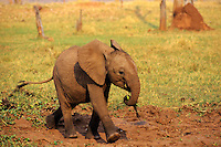 Young african elephant calf walking.  Africa.