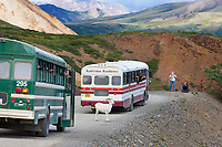 Visitors in Denali Park shuttle bus and a Kantishna Roadhouse tour bus view dall sheep in Polychrome pass, Denali National Park, Interior, Alaska.