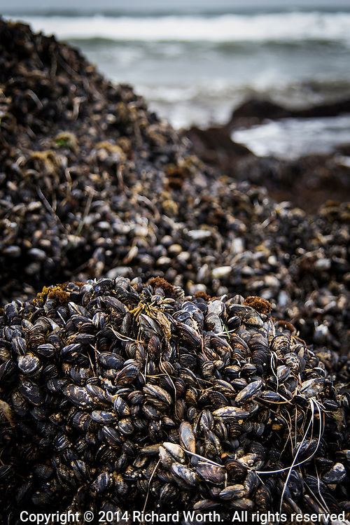 Rocky outcrops on Pescadero State Beach are covered, every inch, with mussels, on dispaly during low tide.