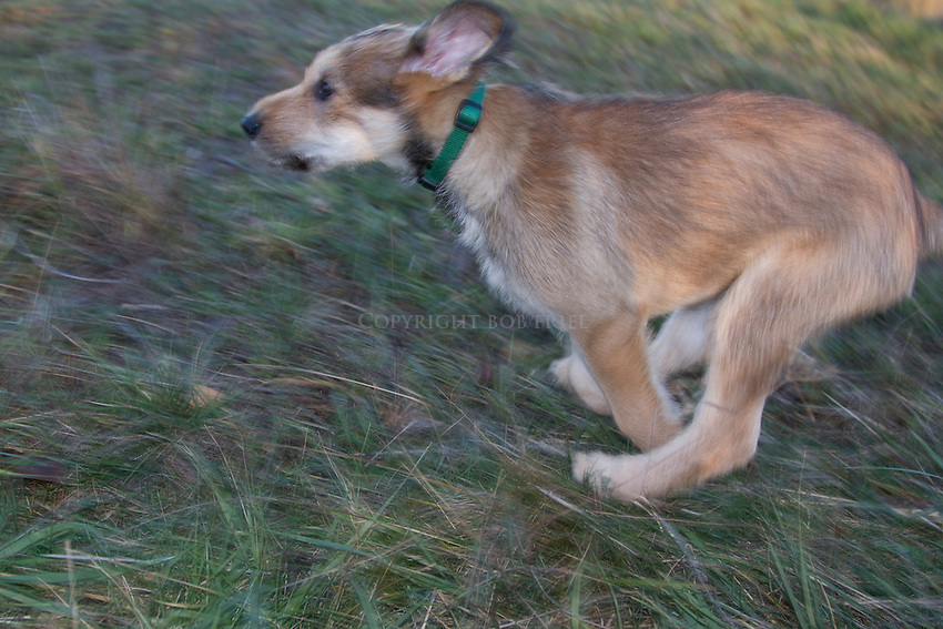Picardy shepherd (Berger Picard) puppy, Quinn, posing and playing on Orcas Island, Washington