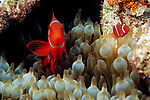 Milne Bay, Papua New Guinea; Spinecheek Anemonefish (Premnas biaculeatus), to 8 cm (3 in.), also known as Maroon Clown, live in Bulb-tentacle Anemone to 18 meters, found in Indonesia and Phillippines to New Guinea, N. Great Barrier Reef and Vanuatu , Copyright © Matthew Meier, matthewmeierphoto.com All Rights Reserved