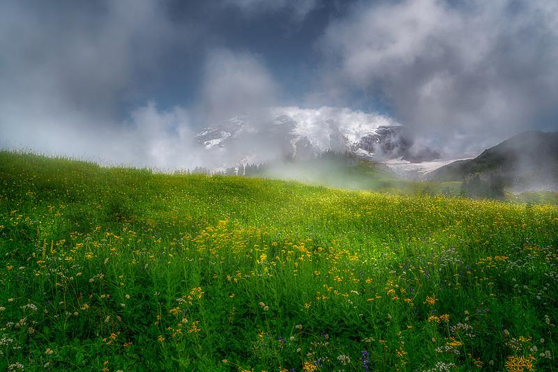 Fog swiriling around Mount Rainier and yellow wildflowers. Mount Rainier National Park, WA