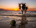 Piper the border collie chases a tennis ball in the surf at Shell Point Beach in the north Florida panhandle.