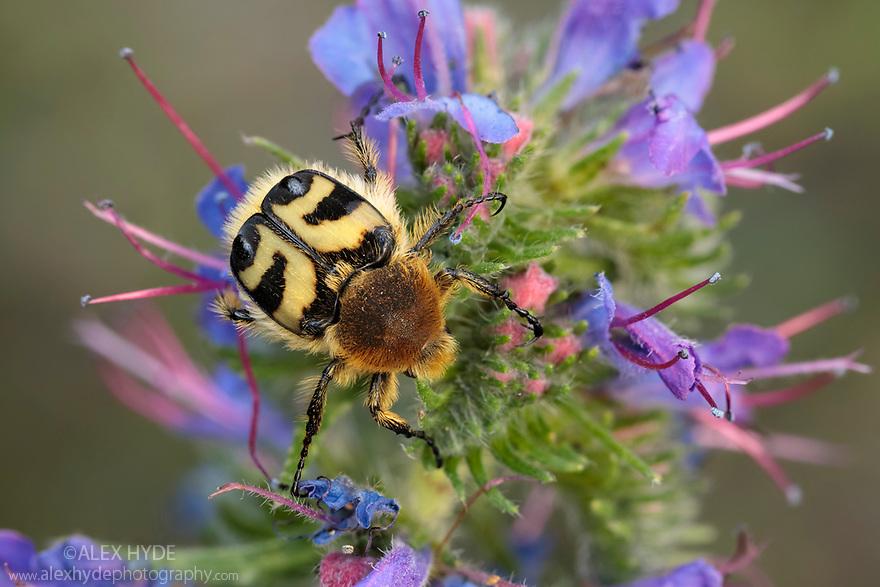 Bee Beetle (Trichius fasciatus) feeding on Viper's Bugloss (Echium vulgare). Nordtirol, Austrian Alps, Austria, July.
