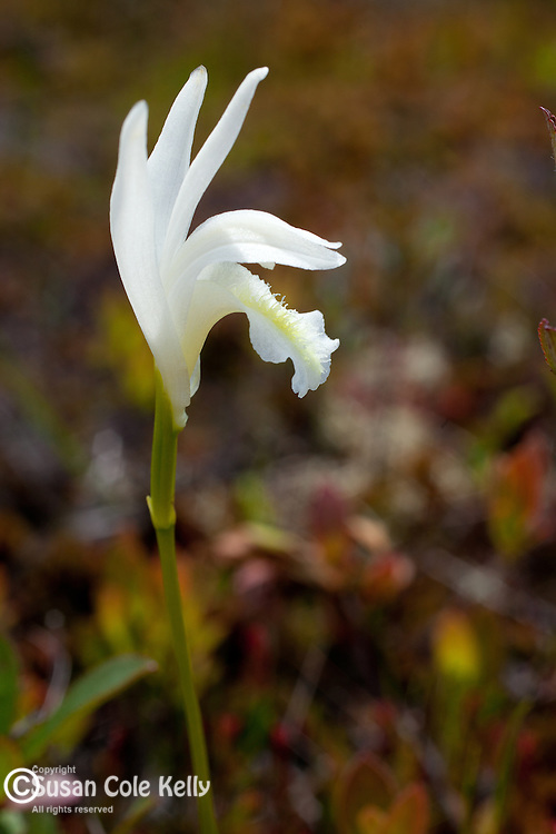 A white Dragon's Mouth orchid (Arethusa Bulbosa) in Hancock County, ME, USA