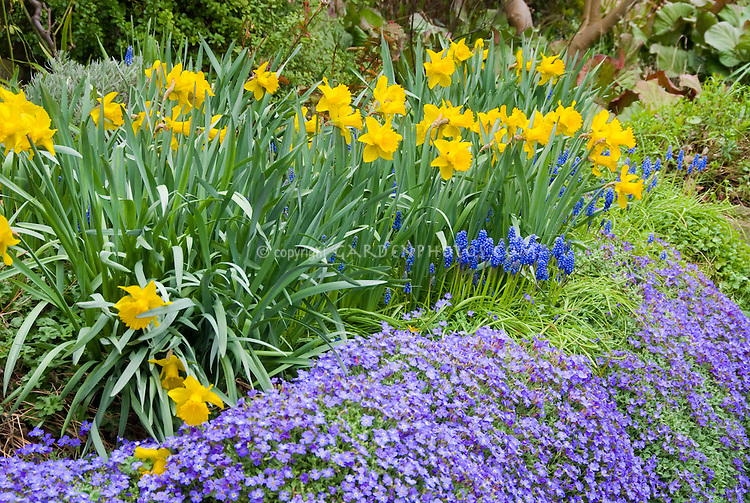 Daffodil Narcissus with grape hyacinths Muscari and Phlox rockcress in spring bloom in yellow and blue purple color theme