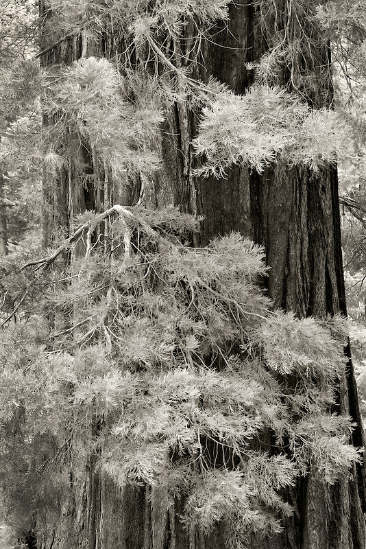 Close up of Giant Sequoia Tree with leaves.  tree. Kings Canyon National Park, California