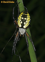 0825-06xx Garden spider - Argiope aurantia © David Kuhn/Dwight Kuhn Photography
