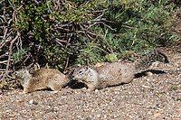Two ground squirrels pause near the safety of underbrush along a trail at the Martin Luther King Jr. Regional Shoreline in Oakland, California.