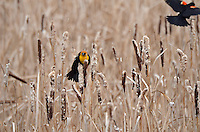 This yellowheaded blackbird guards his territory from intruding redwing blackbirds...
