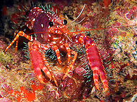 Hawaiian or western lobster,  Enoplometopus occidentalis, Hawaii.<br />