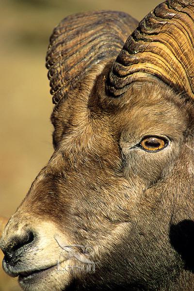 Rocky Mountain Bighorn Sheep Ram.  Canadian Rockies. Late Fall.