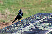 A Brewer's blackbird poses on a picnic table at Pomponio State Beach, California.