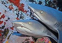 whitetip reef shark, Triaenodon obesus, Revillagigedo Islands, Roca Partida, Mexico, Pacific Ocean