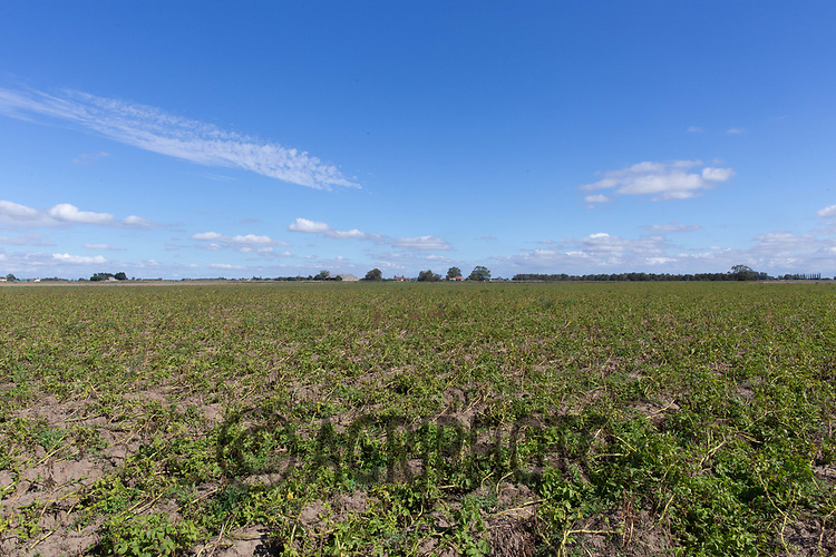 8.9.2020 Topping potatoes before harvest in the Lincolnshire Fens <br /> ©Tim Scrivener Photographer 07850 303986<br />      ....Covering Agriculture In The UK.
