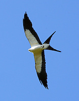 Adult swallow-tailed kite. Note long outer tail feathers and almost pure white body.