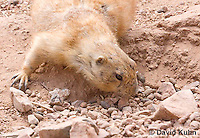 0721-1117  Black-tailed Prairie Dog Foraging for Food  (seed or roots) by Smelling, Cynomys ludovicianus  © David Kuhn/Dwight Kuhn Photography